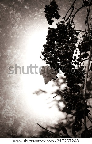 A bunch of ripe muscat grapes. Red leaf. Harvest concept. Selective focus. Retro aged photo with scratches. Black and white. - stock photo