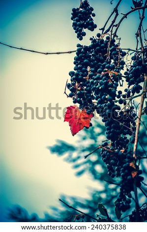 A bunch of ripe muscat grapes. Red leaf. Rural romance concept. Selective focus. Retro aged photo. - stock photo