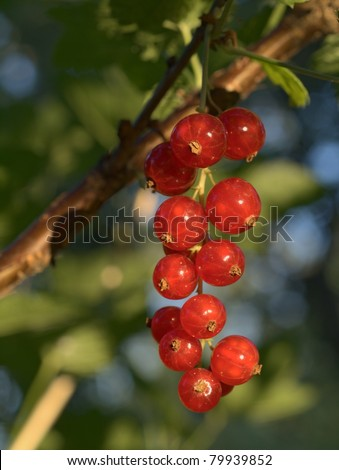 A bunch of ripe red currant in summer garden - stock photo