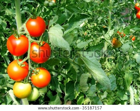 a bunch of tomatoes with green background - stock photo