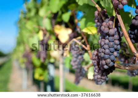 a bunch of winegrapes on a large vineyard