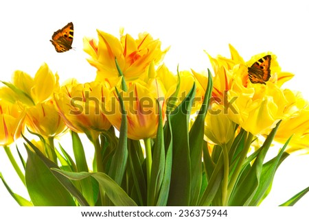 A bunch of yellow tulips with two butterflies, isolated, copy space