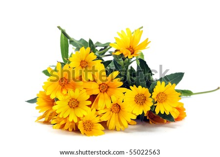 a bunch of yellow wild daisies isolated on a white background - stock photo