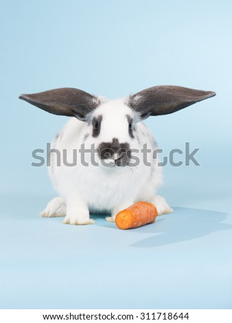 A bunny portrait taken in a studio. Bunny is standing next to a carrot. Image taken indoor with a light blue background.  - stock photo