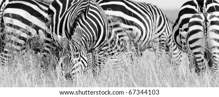 A burchell's zebra herd on the Masai Mara during the Great Migration (black & white). - stock photo