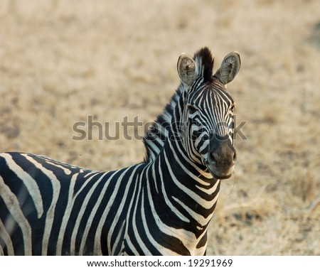 A Burchell's Zebra in the Kruger National Park, South Africa. - stock photo