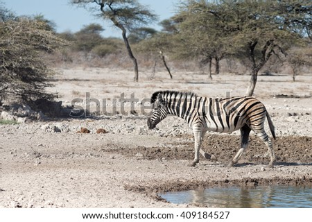 A Burchell zebra (Equus quagga burchellii) leaving a waterhole in Etosha National Park, Namibia. Shallow depth of field.