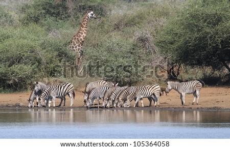 A Burchells Zebra (Equus quagga burchelli) in the Kruger National Park - stock photo