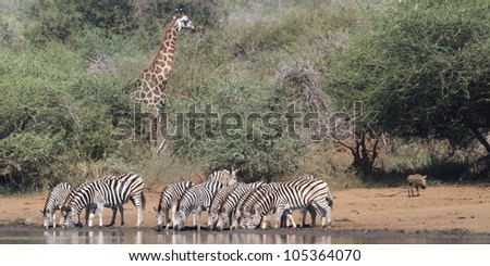 A Burchells Zebra (Equus quagga burchelli) in the Kruger National Park - stock photo