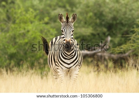 A Burchells Zebra (Equus quagga burchelli) in the Kruger Park - stock photo