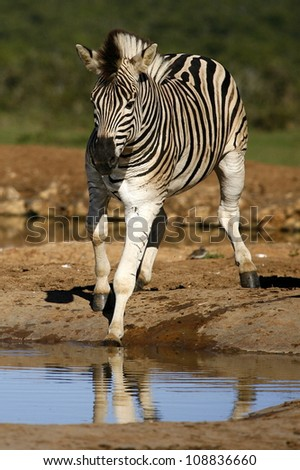 A burchells zebra slips into a water pan while coming to drink at a waterhole in addo elephant national park,eastern cape,south africa - stock photo