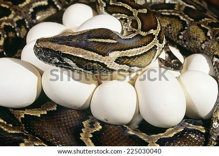 A Burmese python with a clutch of eggs - stock photo