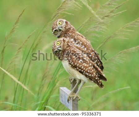 A Burrowing Owl pair. - stock photo