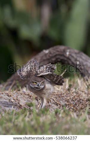 A burrowing owlet stretching out its wings over its back