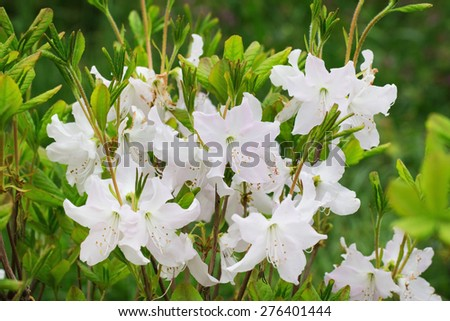 A bush of white rhododendron flowers - stock photo