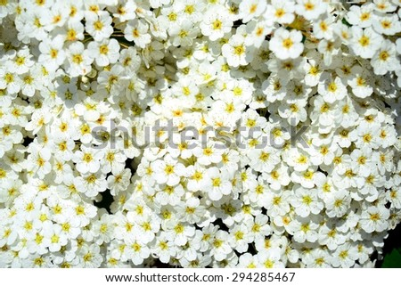 A bush white blossom in Vilnius town on spring. Lithuania.