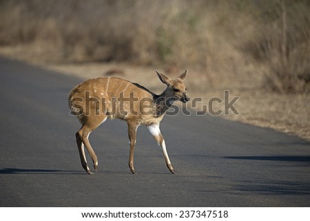 A Bushbuck Baby crosses the road  - stock photo