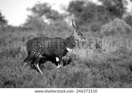 A bushbuck ram in black and white. - stock photo