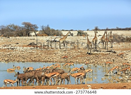 A busy waterhole in Etosha national park with giraffe, kudu, springbok & Oryx - stock photo