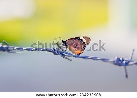 a butterfly on barbed wire. a symbol of freedom in the prison - stock photo