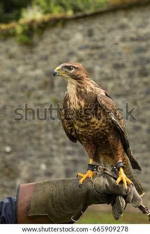 a buzzard perched on a gloved hand in Adare, Ireland