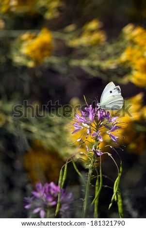A Cabbage White Butterfly nectars on the pink flowers of a Rocky Mountain Bee Plant - stock photo