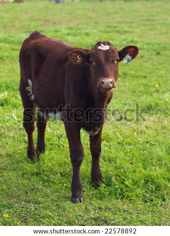 A calf on the green farm field - stock photo