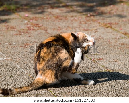 A Calico cat scratching it's head. - stock photo