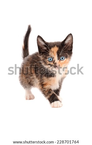 A calico kitten standing on a white background