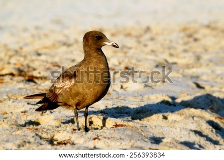 A California brown seagull on the beach with sand. - stock photo