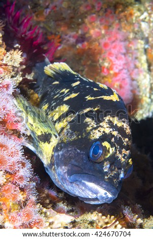 A California copper rockfish uses its fins to wedge itself onto a reef while resting at dusk - stock photo