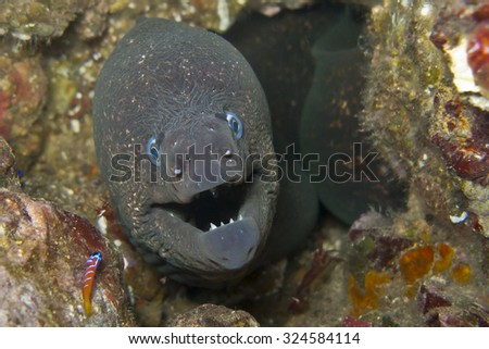 A California Eel peeks out from a hole on a Catalina reef. - stock photo