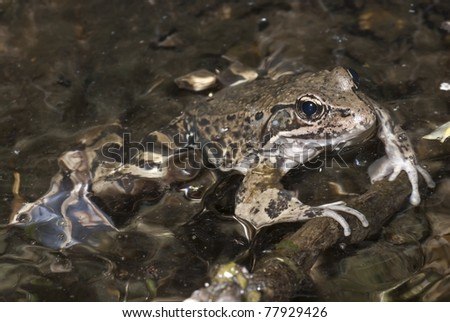 A California Red-legged frog, which is a species for special concern. - stock photo