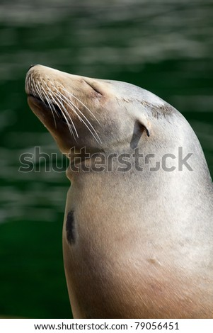A Californian Sea Lion near the water's edge in summer