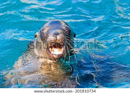 A Californian sea lion of Mexico's Baja California