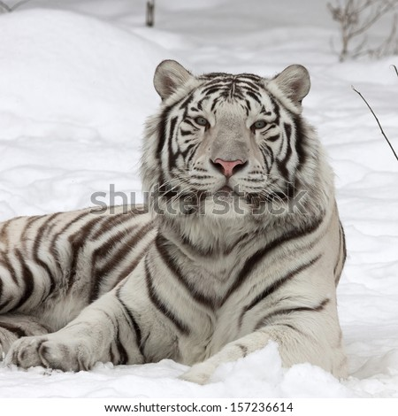 A calm white bengal tiger, lying on fresh snow. The most beautiful animal and very dangerous beast of the world. This severe raptor is a pearl of the wildlife. Animal face portrait. - stock photo