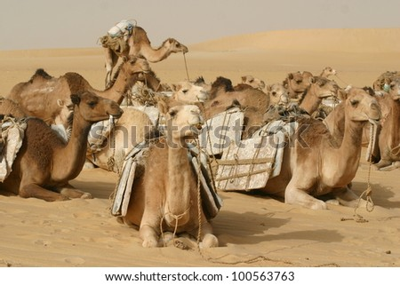 A camel caravan loaded with salt takes a break in the Sahara desert of Mali north of TImbuktu.