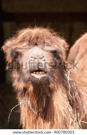A camel eating grass in spring.