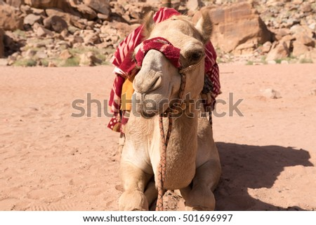 A camel resting in the desert.