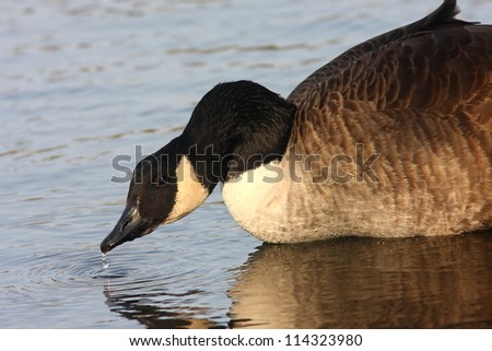 A Canada Goose drinking from the lake in the evening light, with a water drip, reflection, and ripples in the water - stock photo