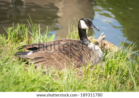 A canada goose sitting in a man made nest - stock photo