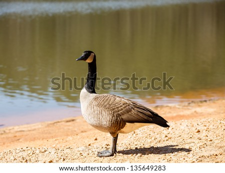 A Canada goose standing on the shore of a lake