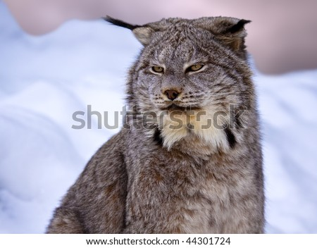 A Canadian Lynx in the snow - stock photo