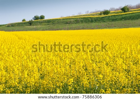 A Canola crop, in full Spring flower