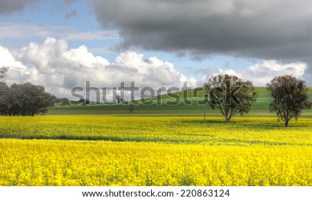 A canola farm in flower during spring and grazing sheep on the hills. - stock photo