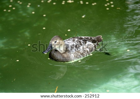 A canvasback duck in a pond - stock photo