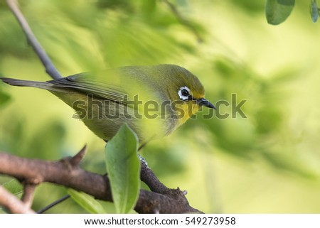 A Cape white-eye bird perched on a branch with natural soft green and yellow background