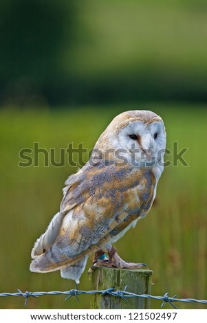 A captive Barn Owl perched on a fence post.in Mid Wales.