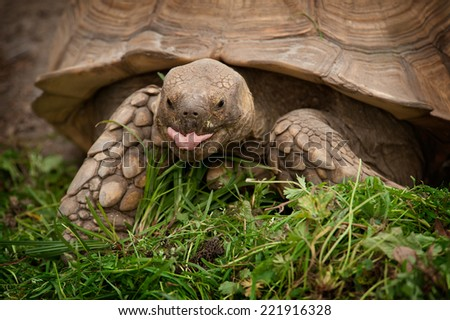 A captive Sulcata Tortoise slowly eats grass as it crawls across the ground. - stock photo