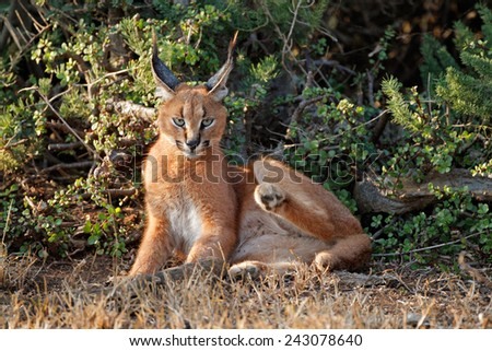 A caracal (Felis caracal) resting in natural habitat, Addo Elephant National Park, South Africa - stock photo